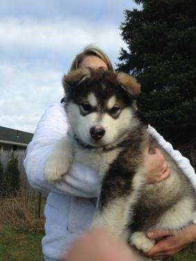 Harvest Moon Malamutes - Breeder, Malamute Puppies