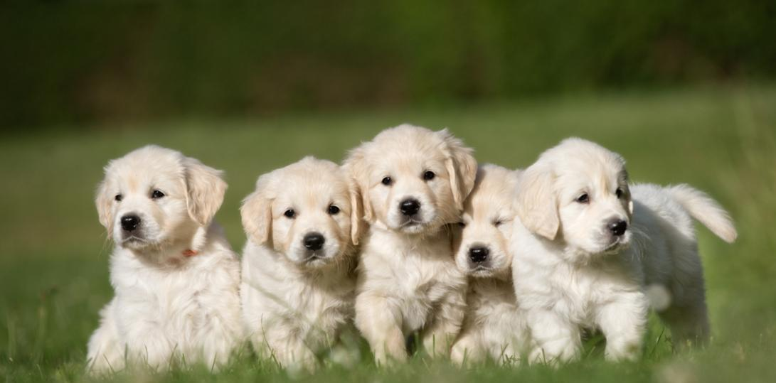 Golden Retriever Breeder - My Golden Guardians
