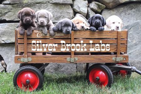 Silver Brook Labs - AKC Labrador Puppies
