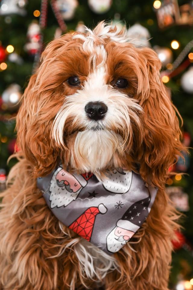 Petit Jean Puppies - Goldendoodles, Cavapoos & Cavapoochons