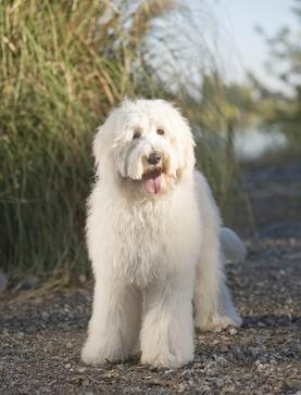 Cream Labradoodle Dog
