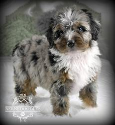 Tricolor-Merle-Limited-White-Mini-Bernedoodle