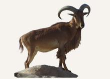 New Mexico Bighorn Sheep