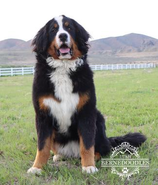 Bernese Puppies from Utah Bernedoodles