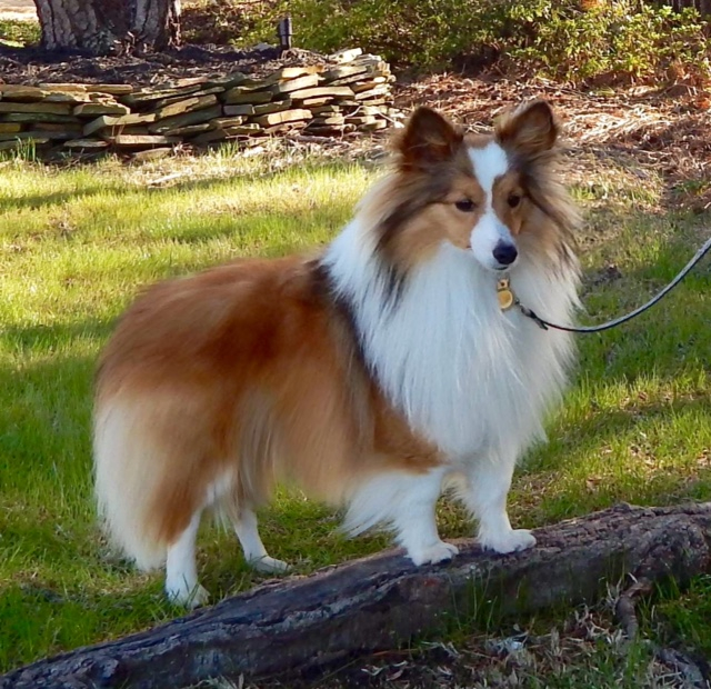 mini toy akc sheltie shetland sheepdog boys males breeding for sale