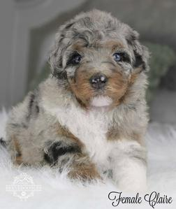 Tiny Bernedoodle Breeder Puppies For Sale