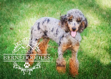 Honey-merle-mini-poodle