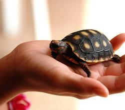 Surrendering a Turtle