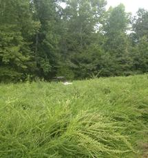 Kentucky clover food plot