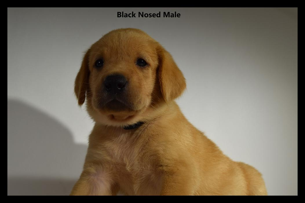 yellow lab puppies for sale