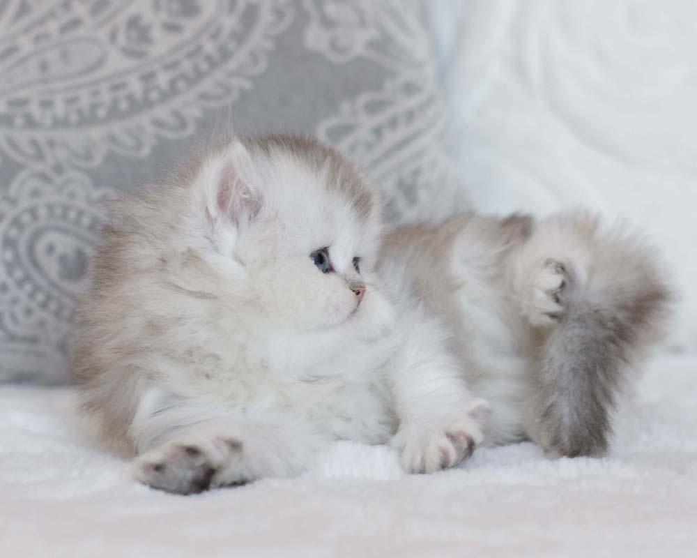 SILVERTALES CATTERY - British Shorthair, British Kitten