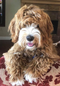 Delta Breeze Labradoodle Stud - Sir Wolfgang Van Doodle Aka Wolfe. Red and White Parti