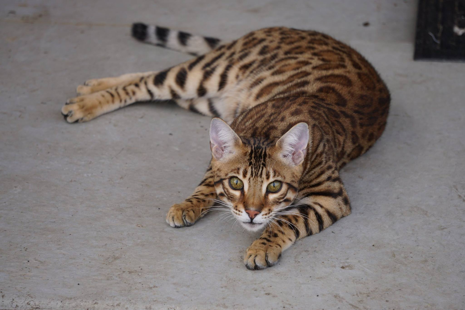 Liberty Bengals - Bengal Kittens For Sale