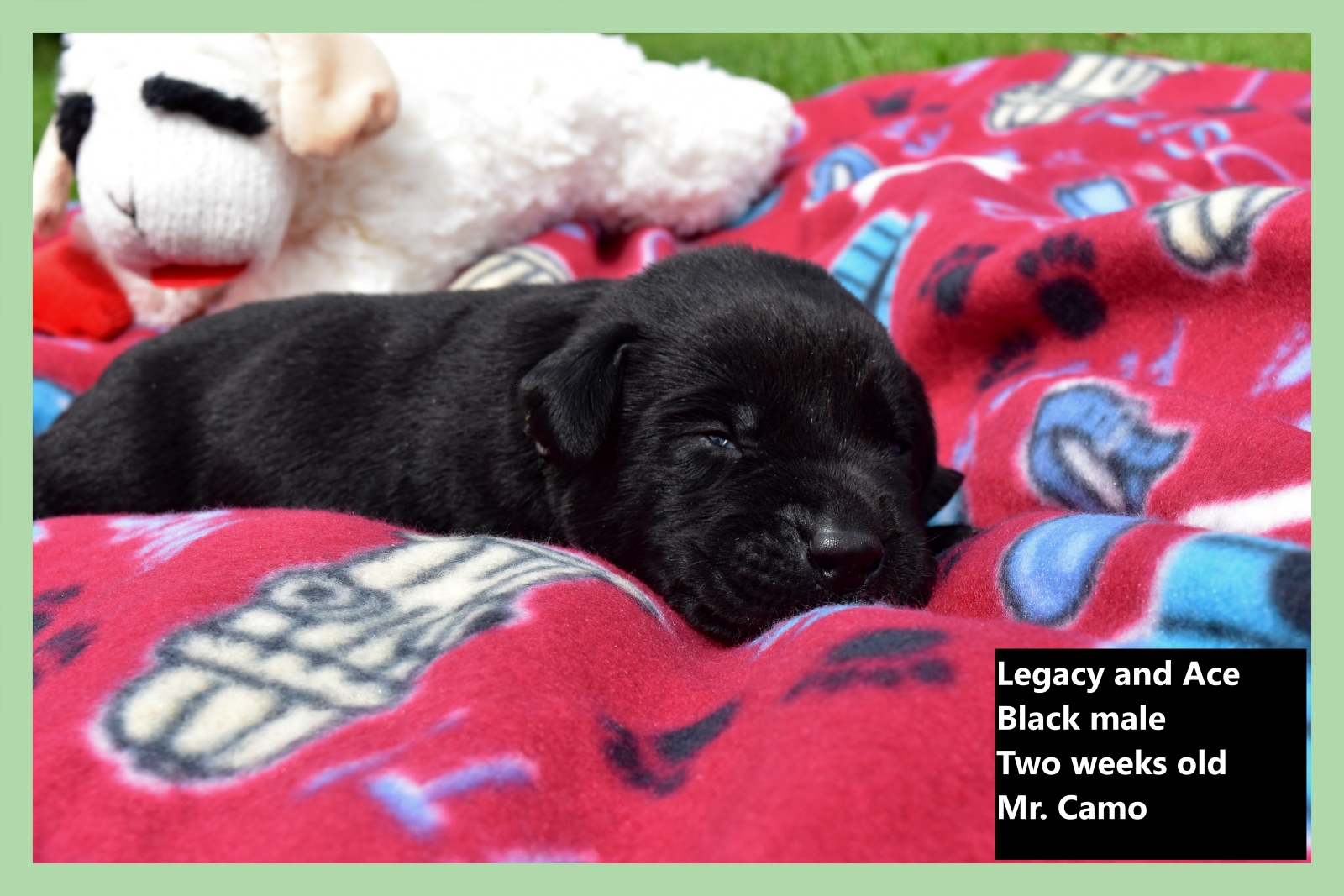 Black Lab Puppies for Sale - Mabry Labs