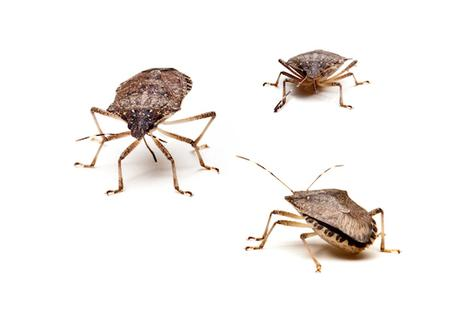Group of stink bugs