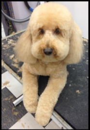 Mini Golden Doodle Groom
