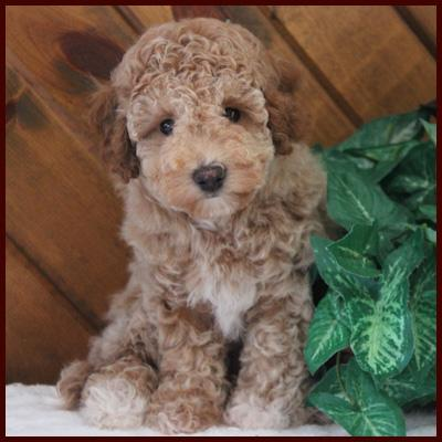 Red poochon puppy for sale