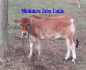 miniature Zebu cattle for sale