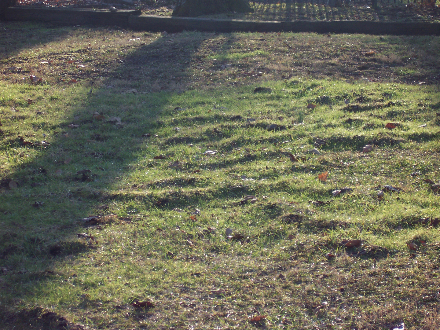 How to trap moles in your yard - 1 Mole S Damage In Nice Yard