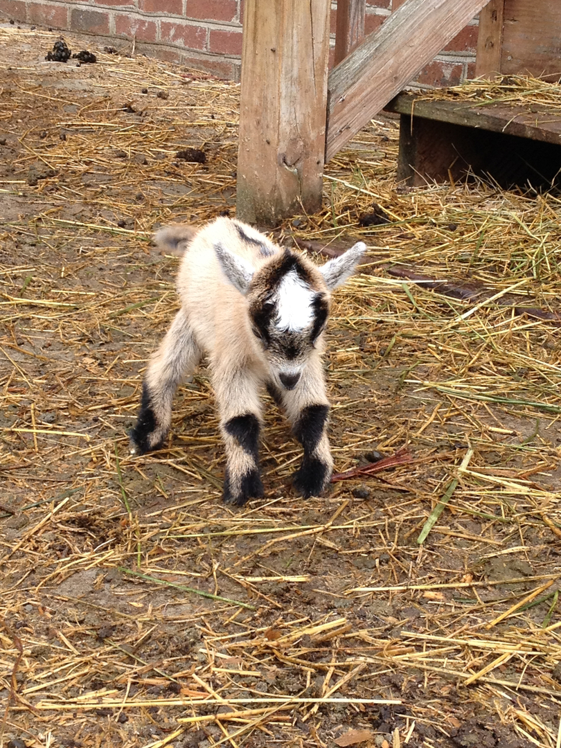 Pygmy Goats | Simple Pleasures Farm NC