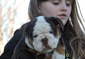 chocolate tri english bulldog