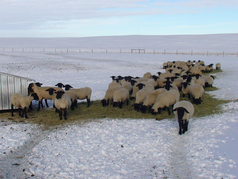 Canadian Sheep Breeders' Association - Online