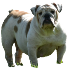 Standard English bulldog