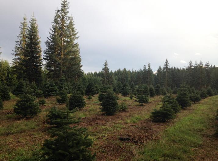 lone fir tree farms was established in 1960 it is owned by dallas and sharon boge the original owner who still actively manage the farms