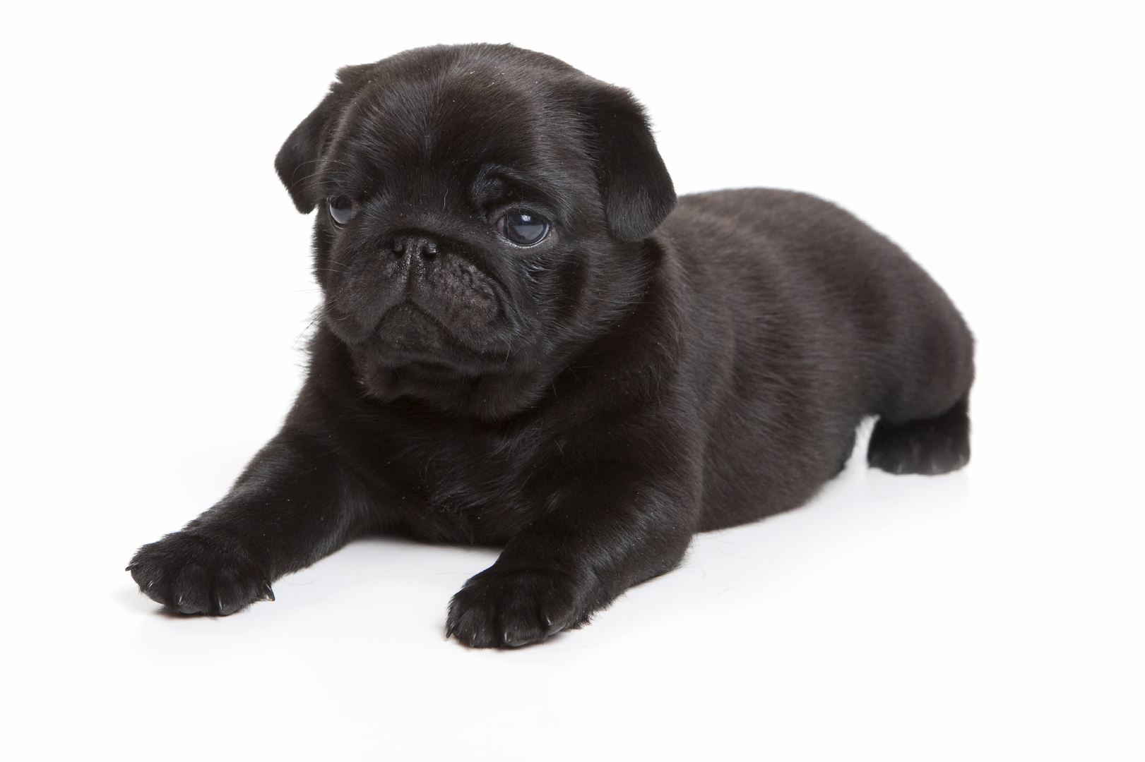 Lone Star Pug Tails Pug Puppies For Sale in Texas