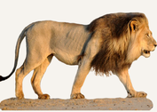 Central African Republic Lion