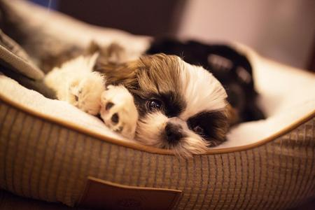 At Sweetwater, all of our Shih Tzu are certified for their eyes (OFA), kidneys, teeth, heart, liver and thyroid.