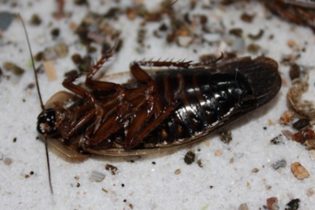 Dead American Cockroach with droppings