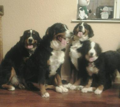 Bernedoodles and Berneses at Utahbernedoodles