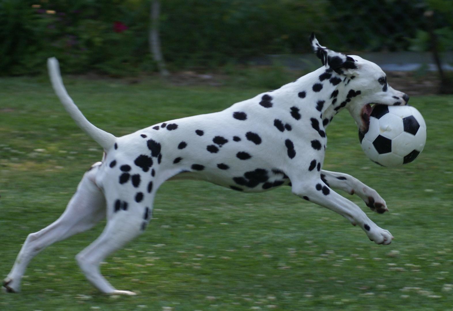 Dalmatian with football ball
