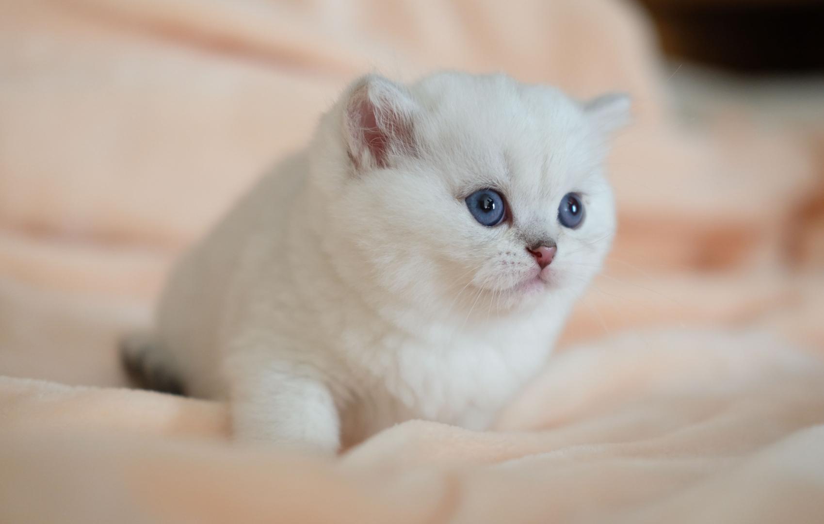 British Shorthair Kittens SILVERTALES CATTERY