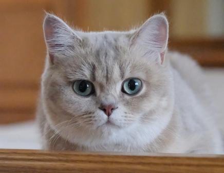 British Shorthair Kittens Silvertails