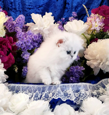 sweet - small doll face Persian kittens