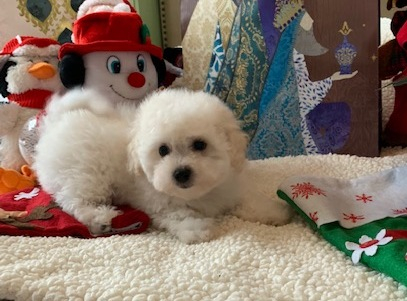 Bolognese and Coton De Tulear Puppies for sale