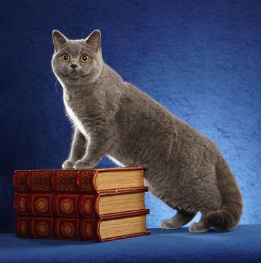 Silver Brook British Shorthair
