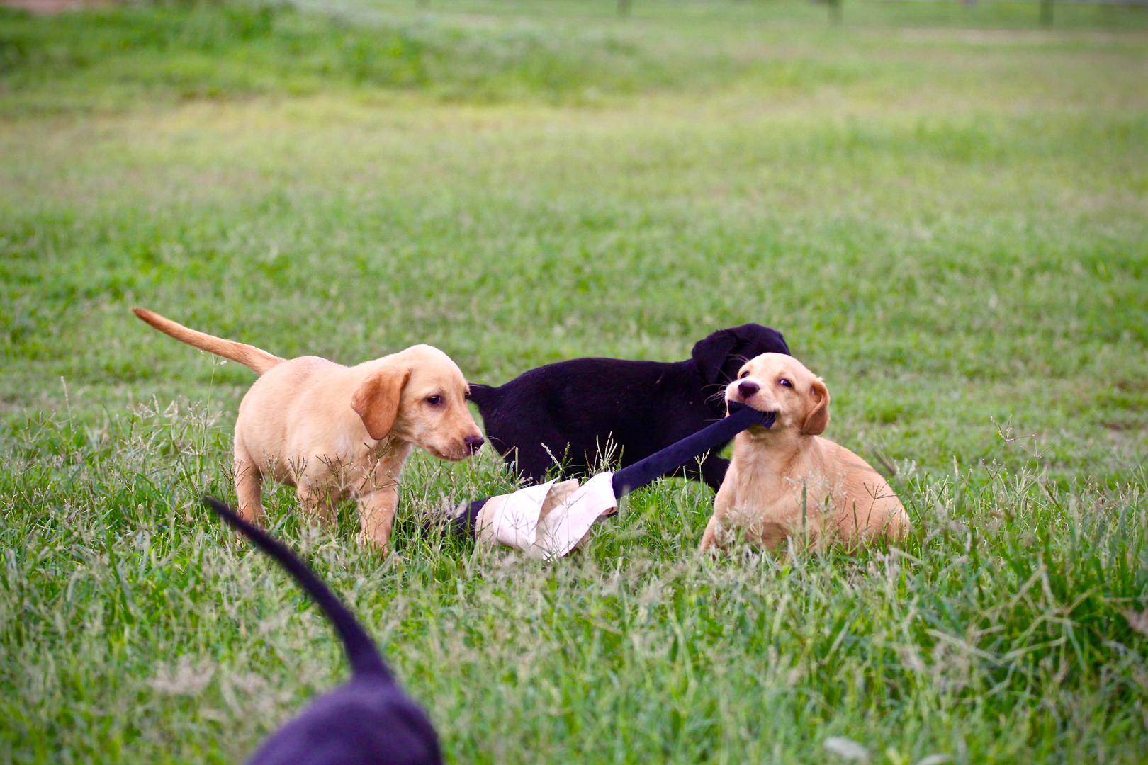 Texas Labrador Puppies for sale, Yellow, Black, Chocolate puppy