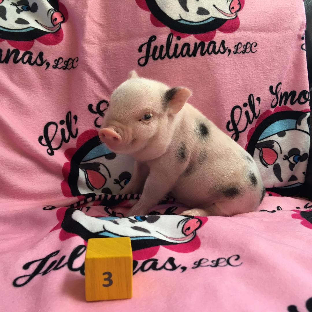Mini Pigs For Sale Lil Smokies Julianas
