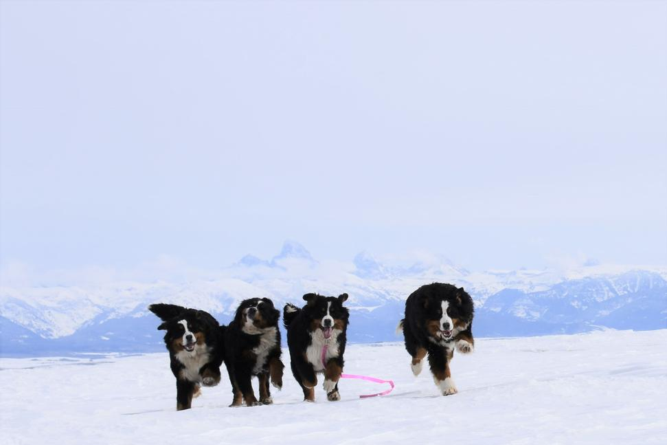 Bernedoodle Puppies Playing on Snow - Utahbernedoodle