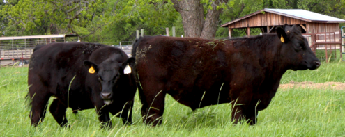 2 Terra Sienna Grass Fed Beef Cattle