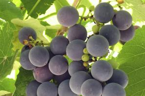 Grapes on a Vine in the Sonoma Wine Country