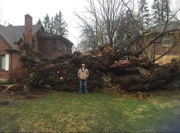Storm damage, fallen willow tree, arborist standing in front, dundas tree services