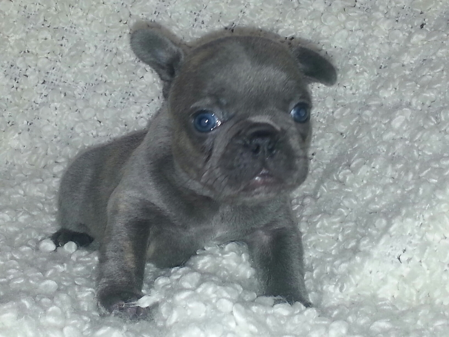 Love A French Bulldog French Bulldog Puppies For Sale French Bull Dog