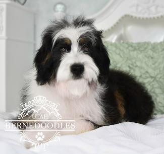 Mini-Poodle-Bernese-Mountain-Dog