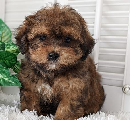 teddy bear poo puppies for sale near me