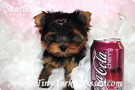 Yorkie Puppies for Sale - Tiny Yorkie Kisses