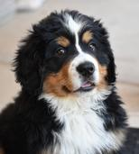 Bernese Mountain Dog Arizona Rescue